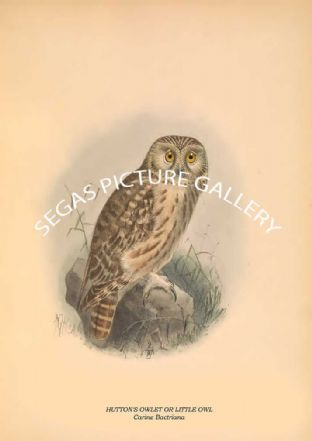 HUTTON'S OWLET OR LITTLE OWL - Carine Bactriana
